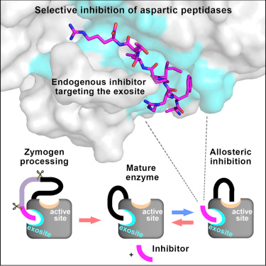 Novel Structural Mechanism of Allosteric Regulation of Aspartic Peptidases via an Evolutionarily Conserved Exosite